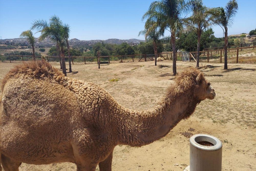 Camel at Children's Nature Retreat