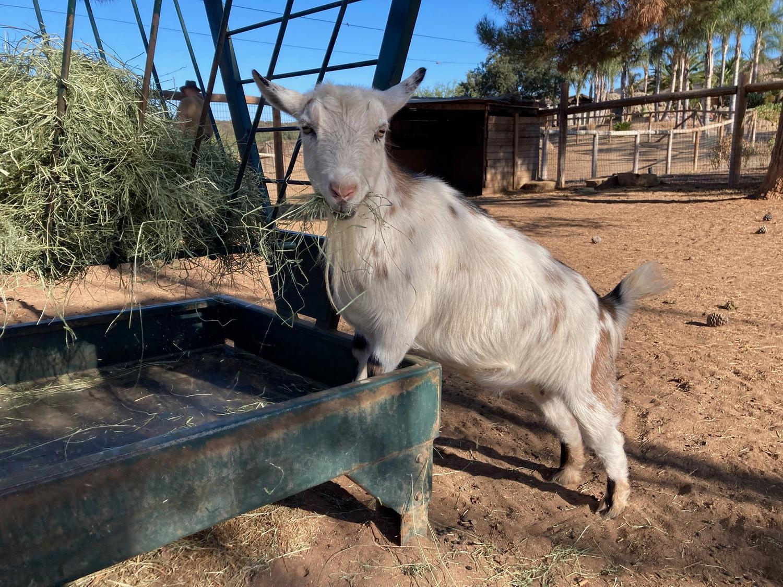 goat at Children's Retreat