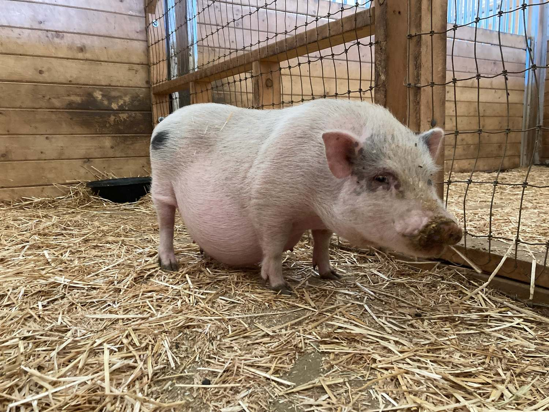 pig at Children's Retreat